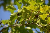 single open nut capsule on branch of fagus sylvatica tree in early autumn, brown empty capsule of european beech poster