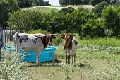 A pair of young, white and brown Longhorn cattle standing next to a blue, plastic water trough in a ranch pasture, while one has its head turned to look back while using its tongue to clean its nose poster