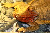 a bearded dragon Pogona vitticeps from australia poster