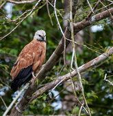 Black-collared Hawk perched in a tree in the Amazon jungle poster