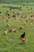 France poultry farming in Brueil en Vexin poster