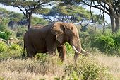 African elephant in reserve Masai Mara Kenya poster