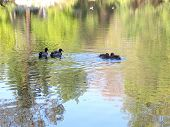 ducks on a small lake, with trees reflected in the water poster