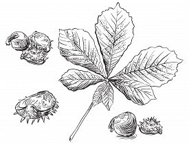 Vector Autumn Hand Drawing Set Of Horse Chestnut Leaves And Seeds Outline On The White Background. F
