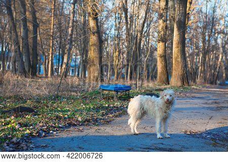 Free-ranging Urban Dog . Abandoned Street Animal , Looking In The Camera