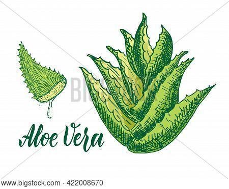Vector Hand Drawn Botanical Aloe Vera. Aloe Plant, Branch, Aloe Juice Sketch. Collection With Engrav
