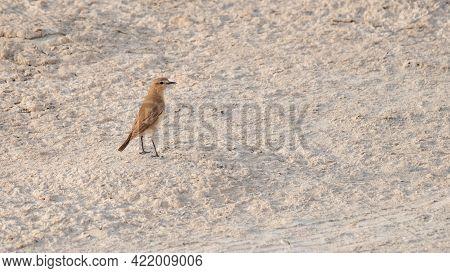 Persian Wheatear (oenanthe Chrysopygia) Found In Qatar. Selective Focus
