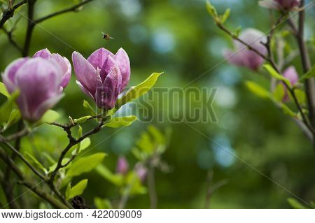 Spring Magnolia Flowers, Natural Abstract Soft Floral Background. Beautiful Flowers, Delicate Magnol