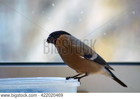 Bullfinch Eats Seeds. Bullfinch Flew On The Loggia And Eats Sunflower Seeds. Help The Birds In Winte