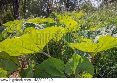 Closeup Of Translucent Butterbur Leaves In The Sunlight. The Leaf Veins And Stems Are Clearly Visibl