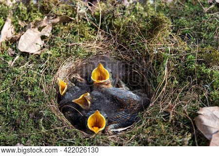 Deep  Cup Birds Nest Of The Robin With Hatchlings Newly Hatched Nestlings Crying For Food