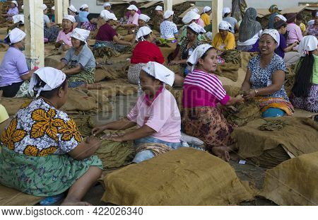 Kalibary , Java Indonesie -18 Augustus ,2018:women Are At Work In A Tobacco Factory Where The Tobacc