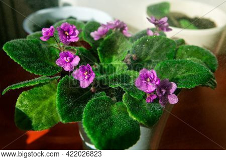 Magenta African Violet Plant With Magenta Blooms To Brighten Up The Room . One Of The Most Popular F