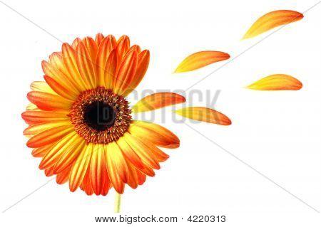 Flying Gerber Daisy