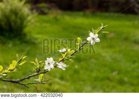 White Cherry Plum´s Flowers Branch At Bright Green Garden Background. Myrobalan Plum (prunus Cerasif