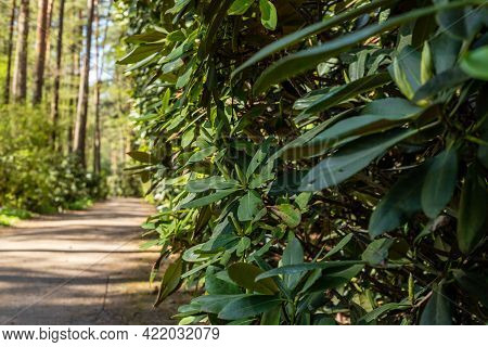 Green Rhododendron Hedge At Right Side Of Pathway Leading To The Pine Tree Forest. Hedgerow Of Rhodo