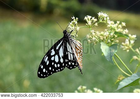 Closeup Butterfly On Flower. Common Tiger Butterfly.