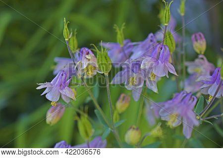 Aquilegia Vulgaris (latin: Aquilégia Vulgáris) Is A Perennial Herbaceous Plant, A Species Of The Gen