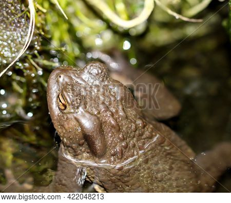 A Common Toad Bufo Bufo On The Edge Of A Pond.
