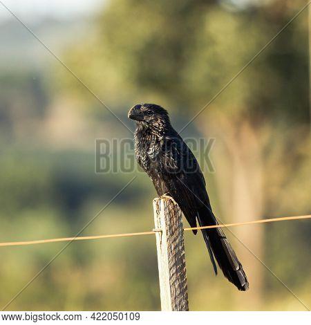 Smooth-billed Ani Bird, Scientific Name (crotophaga Ani) Bird Found In The Brazilian Cerrado Biome.