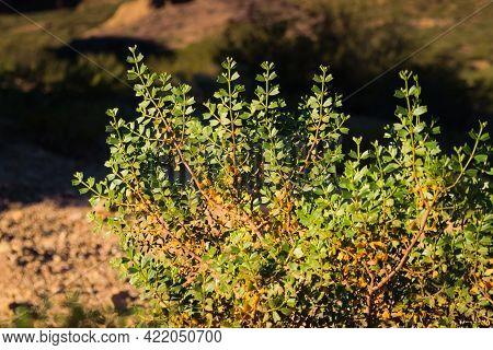 Shrub Of Larrea Divaricata, Locally Known As Jarilla, In Uspallata Valley, Province Of Mendoza, Arge