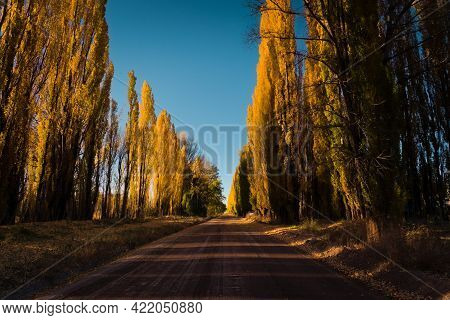 Dirt Road Lined By Yellow Poplar Trees On An Autumn Afternoon In Uspallata, Province Of Mendoza, Arg