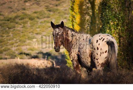 Feral Horse Grazing In The Valley Of Uspallata, Province Of Mendoza, Argentina.