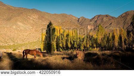 Feral Horses Grazing In The Valley Of Uspallata, Province Of Mendoza, Argentina.