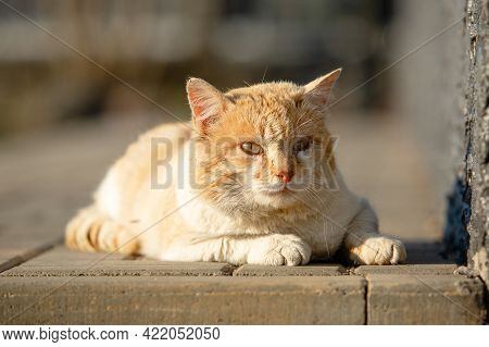 Portrait Of A Yellow Street Cat With White Spots Lying Down On Sidewalk. Looks Into The Camera.