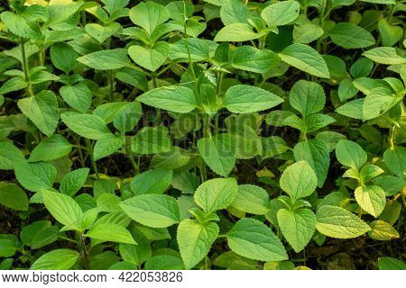 Hairy Galinsoga Or Galinsoga Quadriradiata Is A Species Of Wild Flowering Plant In The Family Astera