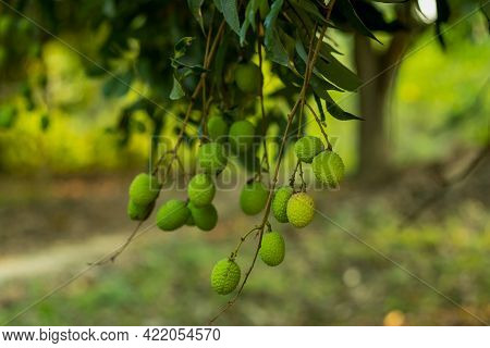 The Group Of Lychee Or Litchi Chinensis Sonn Belongs To The Family Sapindaceae And Sub-family Nephel