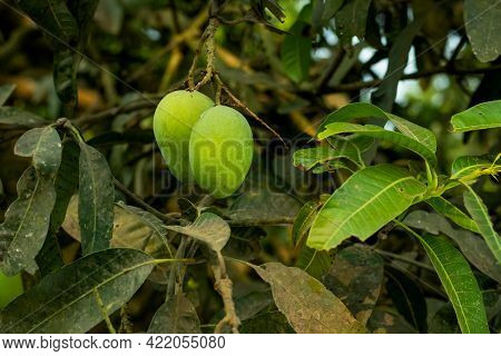 Two Raw Green Mango And When It Ripe It Is Very Sweet And It Has Been Shoot Directly From The Garden