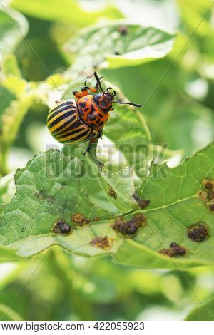 Colorado Potato Beetle Hanging On A Gnawed Potato Leaf. Close-up. A Vertical Illustration About Inse