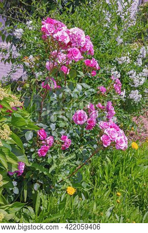 Sunny Spring Day In The Garden. Beautiful Spring Flowers, Rose Bush In Bloom