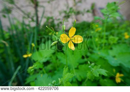 Blooming Celandine Flower Close-up. Yellow Celandine Plant, A Herbaceous Perennial Plant Used In Her