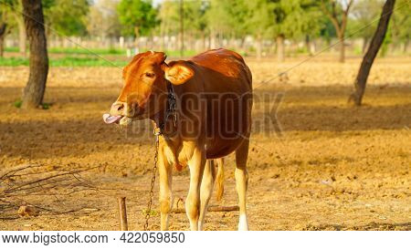 Funny Calf Face, Selective Focus On Cow Calf. Brown Calf Standing Outdoor At Evening.
