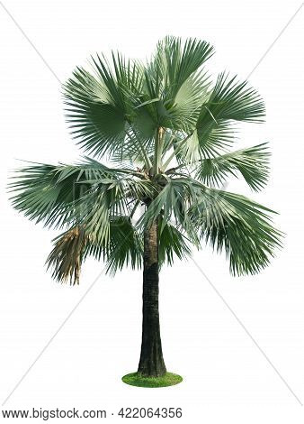 Beautiful Bismarck Palm Tree Isolated On White Background. Suitable For Use In Architectural Design