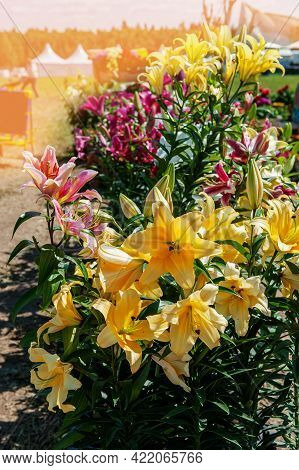 Bright Yellow And Pink Lilies Adorn The Flower Bed On A Sunny Day. Bright Large Lily Flower Close-up