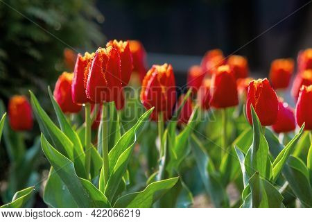 Red Tulips In The Garden Postcard. Blooming Flowers On A Sunny Day In Spring. Beautiful Nature Backg