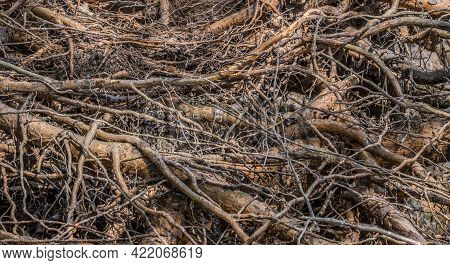 A Network Of Tangled Exposed Tree Roots Above The Ground From Erosion Closeup Background And Texture