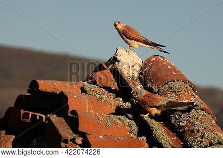 A Pair Of The Lesser Kestrel (falco Naumanni) Sitting On The Old Crashed Roof. The Lesser Kestrels W