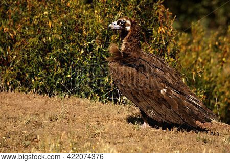 The Black Vulture, Also Called Brown Vulture (aegypius Monachus) Calmly Sitting In The Golden Grassl