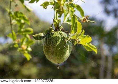Passion Fruit Or Passiflora Edulis, Common Passion Fruit, Jambhool, In The Orchard Isolated