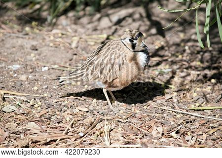 The Inland Dotterel Is A Brown, White And Black Bird