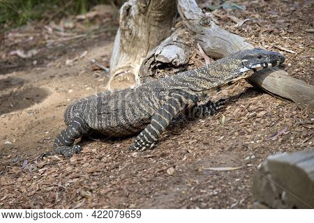 The Lace Monitor Lizard Eats Small Animals And Fruit. They Are The Second Largest Lizard In Australi