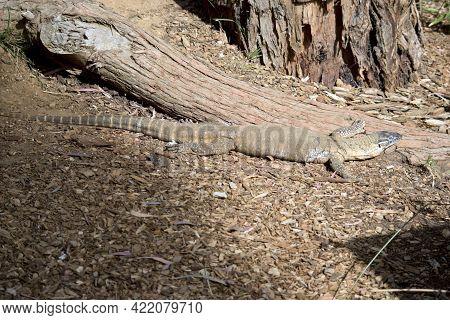 The Heath Monitor Lizard Eats Small Animals And Fruit.