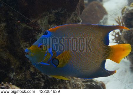 Queen Angelfish On Caribbean Coral Reef