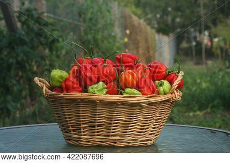 Basket Of Fresh Organic Habanero Peppers Outdoors In Garden