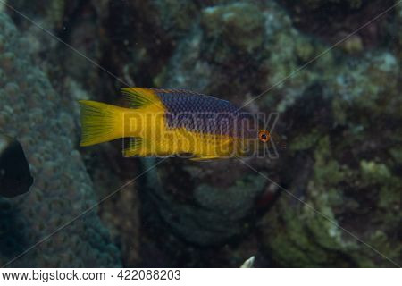 Juvenile Spanish Hogfish On Coral Reef Off The Tropical Island Of Bonaire In The Caribbean Netherlan