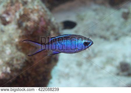 Blue Chromis On Caribbean Coral Reef
